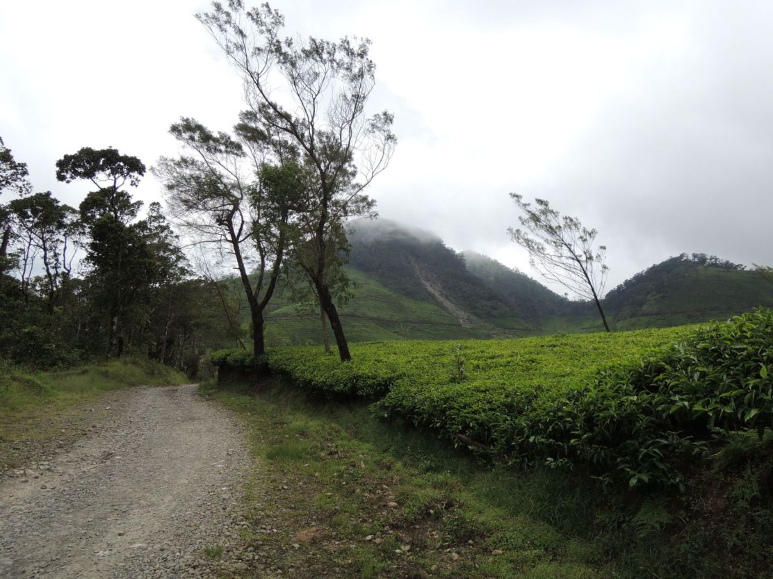 Tea plantation in Sukabumi, West Java